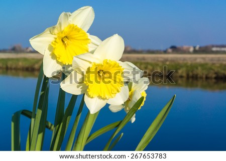 Lonely narcissus near the water edge, the Netherlands
