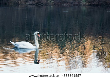 Lonely white Swan Swimming in the River Alone. Winter water before sunset in Italy