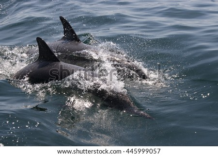 long-beaked common dolphins, Delphinus capensis, False Bay, South Africa, Atlantic Ocean