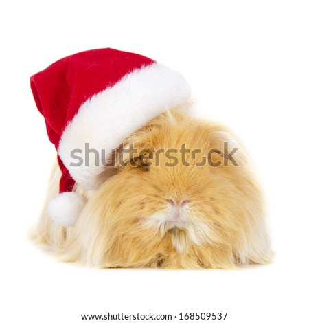 Long hair Guinea Pig with Christmas hat on white background