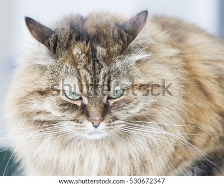 long haired cat of siberian breed brown mackerel version