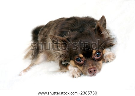 Long Haired Chihuahua Looking directly at Camera.