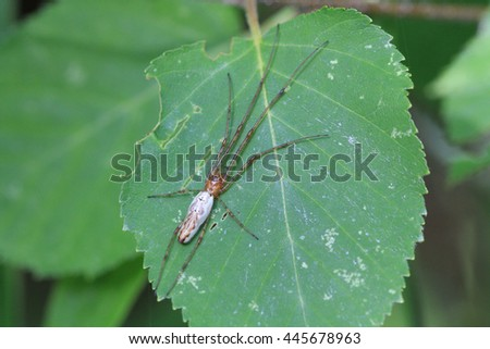 Long Jawed Orb Weaver Spider