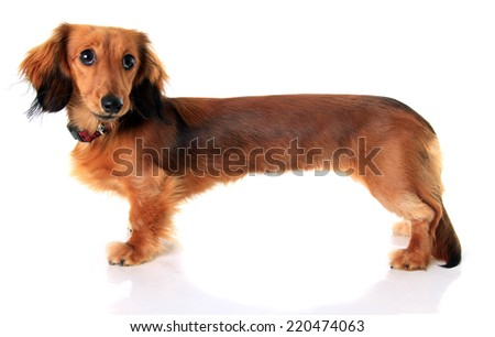 Longhair dachshund puppy, stretched extra long in Photoshop.