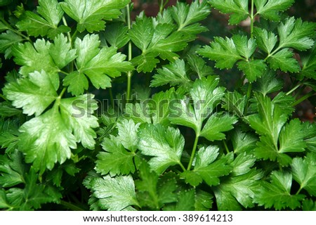 Looking down on the vibrant green leaves of the flat italian parsley plant.