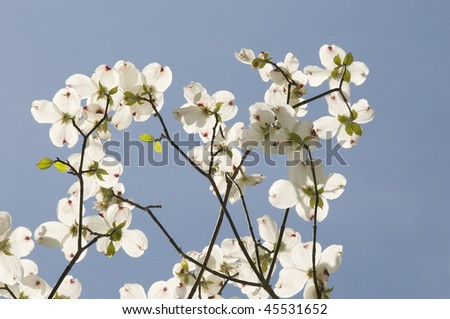 Looking up at dogwood blossoms on a branch in the Spring with the blue sky as the background.
