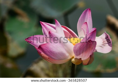 lotus bloom.