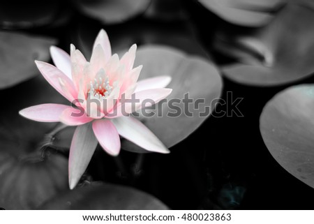 Lotus flower in pond. Saturated colors and vibrant detail make this an almost surreal image.