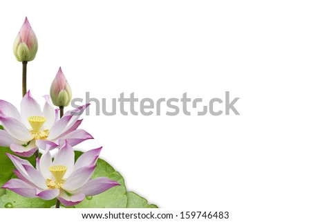Lotus flower isolate on white background
