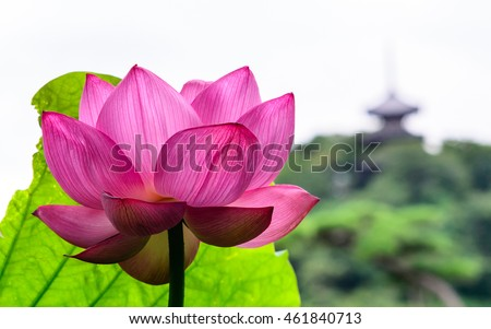 Lotus flower (Nelumbo nucifera or Indian lotus or sacred lotus) and a japanese pagoda in background  in japan