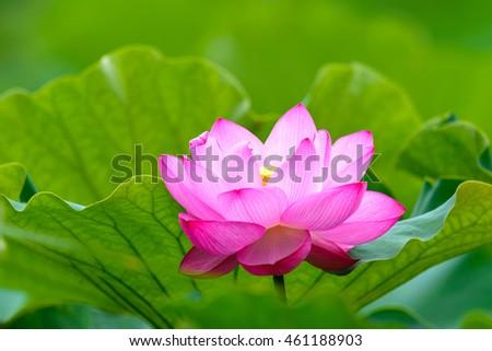 lotus flower nelumbo nucifera indian lotus stock photo, Beautiful flower