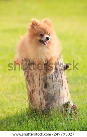 lovely and funny relaxing emotion of pomeranian puppy dog lying on died tree stump with beautiful lighting  green grass floor