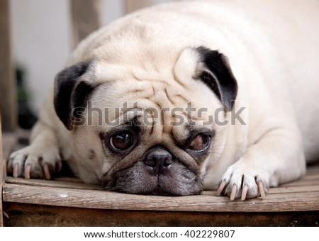Lovely Lonely White Fat Cute Pug Stock Photo 458461063 ...