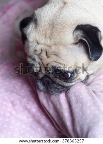 lovely funny white cute fat pug dog close up portraits posting on garage floor playing a pillow making moody face under natural sunlight on a sunny day looking for friends to play with.