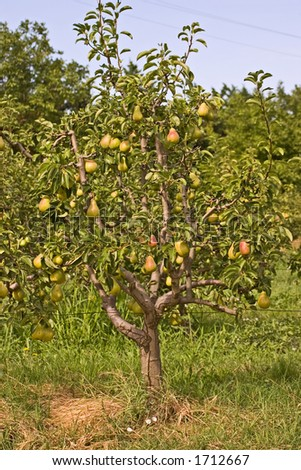 Lovely, small, pear tree filled with fruit.
