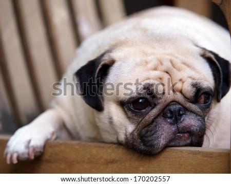Funny Sleepy Pug Dog Gum Eye Stock Photo 598768814