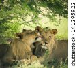 Loving pair of lion and lioness in Botswana with illustration treatment - stock photo