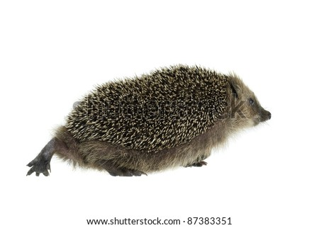 low angle shot of a walking hedgehog. Studio photography in white back