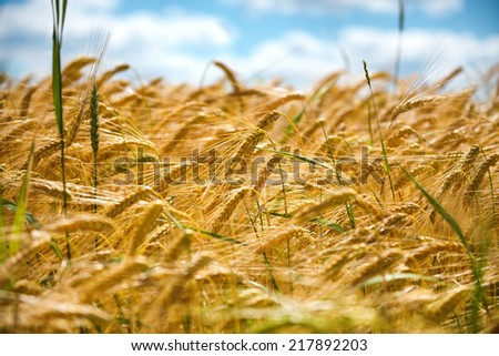 Low angle view of a field of ripening wheat with close up detail of golden ears of cereal against a blue sky in a conceptual nature and agriculture background