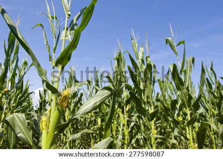 Low angle view of maize in a field under blue sky.