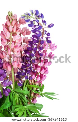 Lupinus flower background. Lupin
