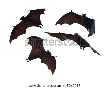 Lyle's flying fox isolated on white