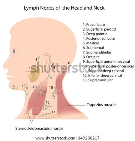 axillary groups lymph nodes stock illustration 147789389, Human Body