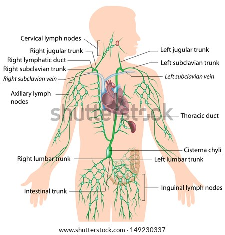 Lymphatic System Unlabeled Diagram Stock Illustration 149230307 ...