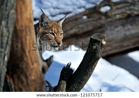 Lynx winter walks in the snow