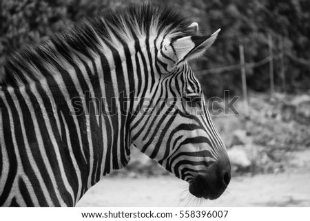 LYON, FRANCE - DECEMBER 18, 2016: Zebra in Parc de la Tete d'or, free zoo in Lyon. The zebra has its head on full in the picture, black and white.