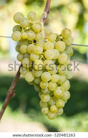 Müller-Thurgau Grape Is Ready To Harvest In The Vineyard