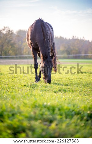 Macro Big Black Stallion Grazing at Wide Green Pasture on Early Morning Time.