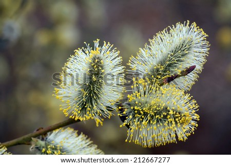 macro fluffy willow in early spring in the forest in soft light