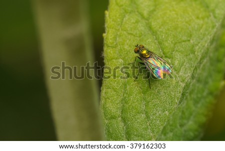 Macro of a Dolichopodidae fly, insect