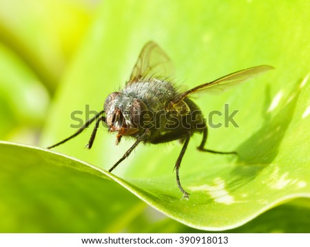 Macro of a large fly on green leaf in the sunshine