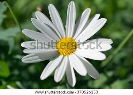 Macro of beautiful white daisie flower.for valentine's day