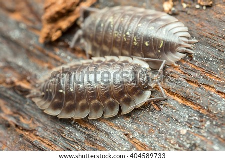 Macro photo of woodlouses on wood