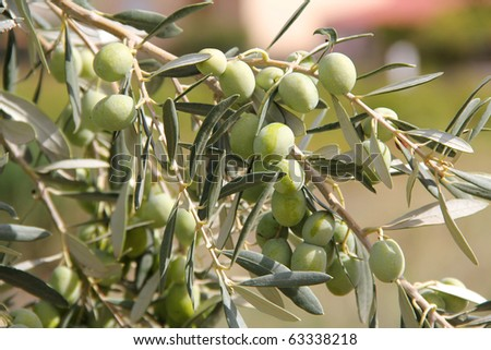 macro view of Olive branch