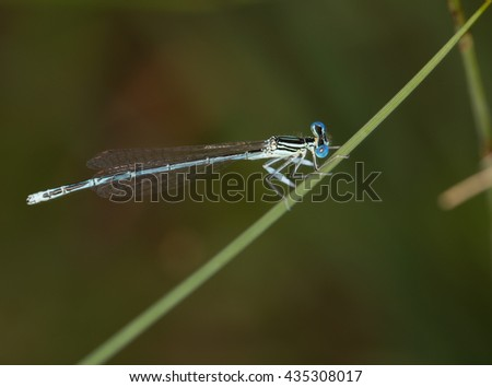 Macrophotography of an insect (Coenagrion puella)