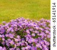 Magenta asters flowerbed. Shallow Depth Of Field. - stock photo