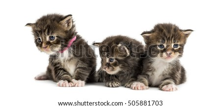 Maine coon kitten in a row isolated on white