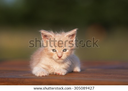 maine coon kitten lying down