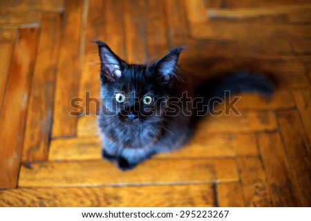 Maine Coon kitten sitting on the floor and looking at the camera.