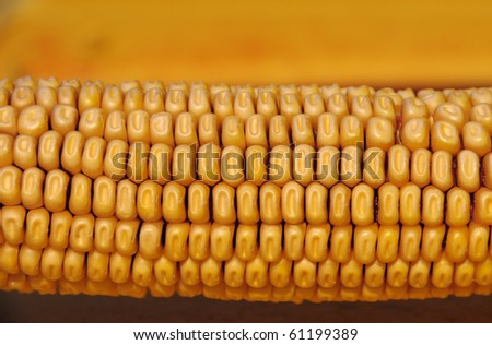 Maize ear closeup