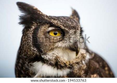 Majestic Great Horned Owl (Bubo virginianus)