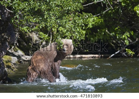Grizzly Bear Barebacks
