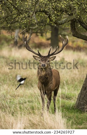 Majestic red deer stag in Autumn Fall landscape