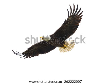 Majestic Texas Bald Eagle in flight against a white background