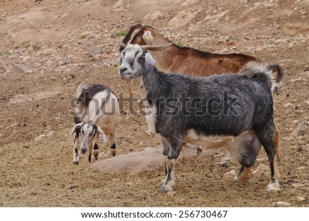 Majorera goat (cabra majorera) at a goat milk cheese farm near Llapus de la conception on the island Fuerteventura one of the Canary island in the Atlantic Ocean belonging to Spain