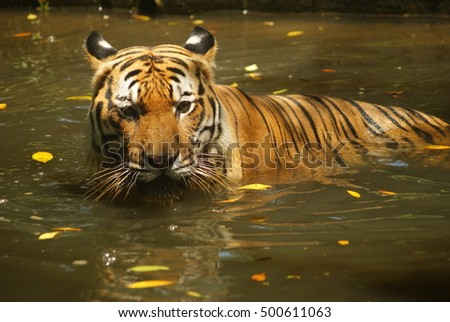 Malayan tiger in the water